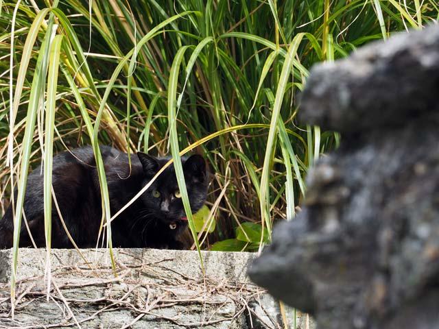 沼島の黒猫