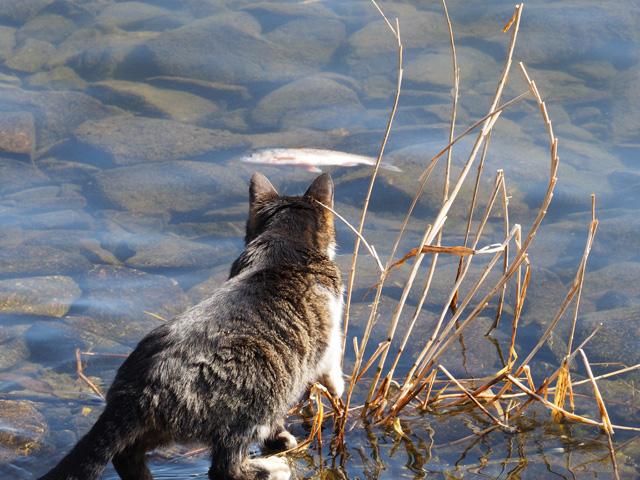 魚がほしい猫@沖島