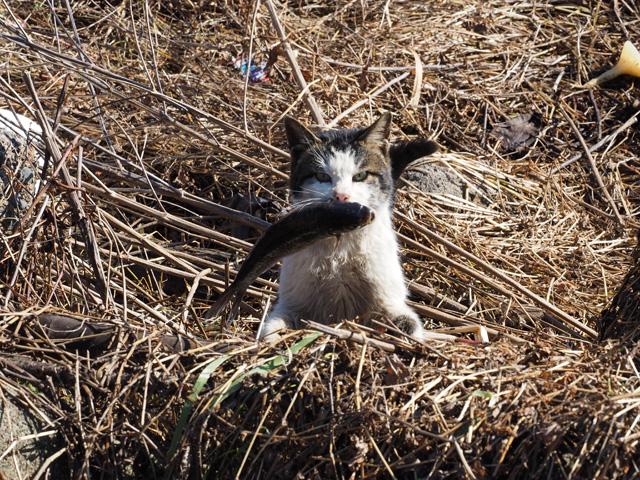 魚をくわえた猫@沖島