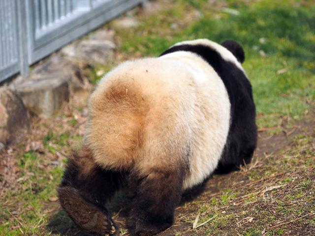 王子動物園のパンダの尻尾の写真
