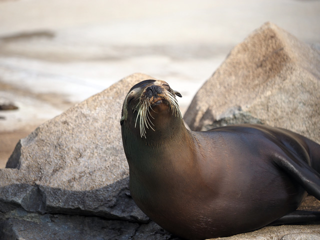 王子動物園のアシカの写真