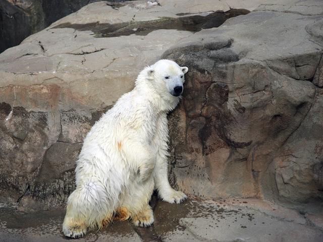 王子動物園のしろくまの写真