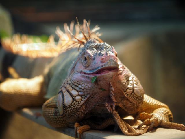 王子動物園のイグアナの写真