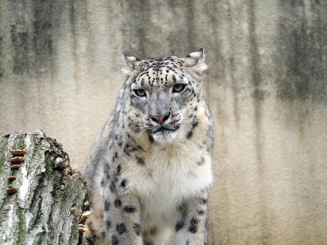 王子動物園のユキヒョウの写真