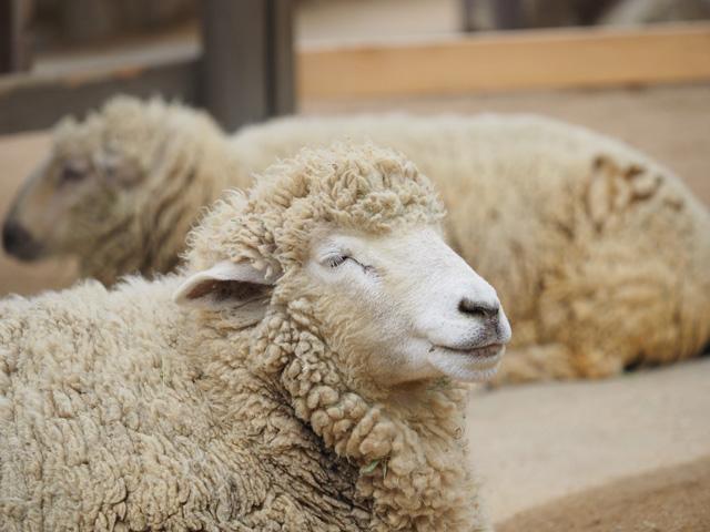 王子動物園の羊の写真