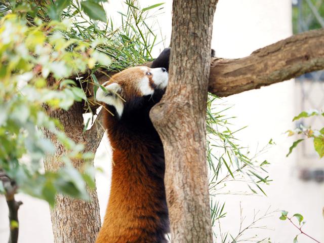 王子動物園のレッサーパンダの写真