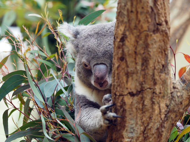 王子動物園のコアラの写真