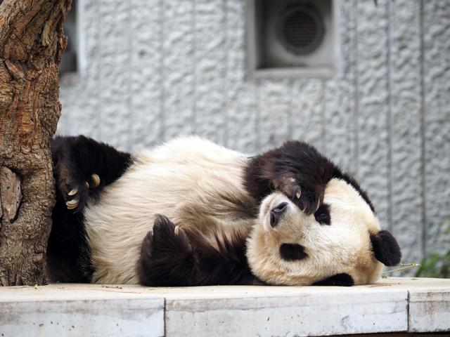 王子動物園のパンダの写真