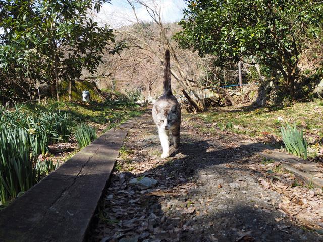 沖島、歩いてくる猫