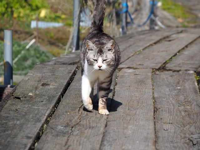 沖島、歩いてくる猫の写真