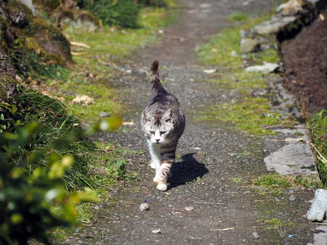沖島、歩いてくるネコ