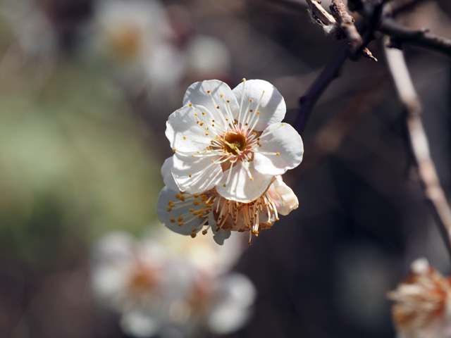 沖島の梅の花?