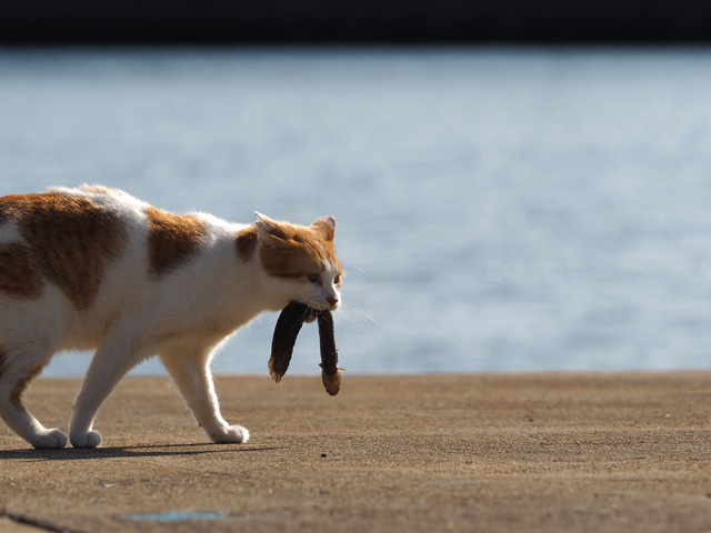 魚をたべる猫