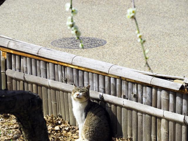 梅を見上げる猫