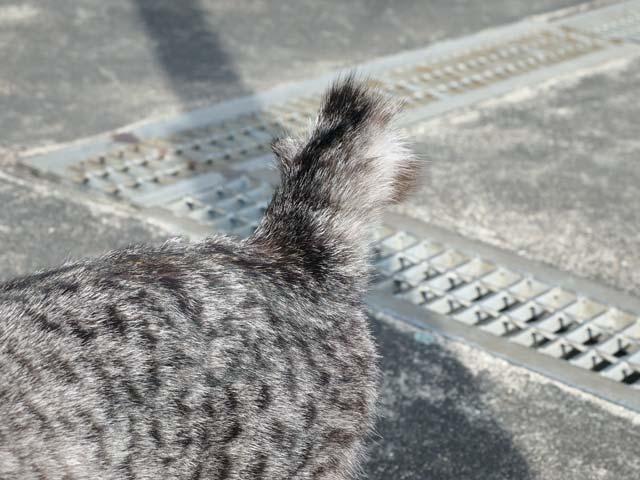 伊吹の尻尾の短い猫