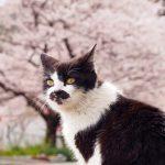 沖島の桜と猫