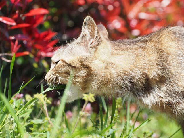 滋賀、草を食べる猫