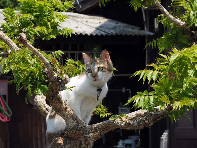 青島、木登り猫