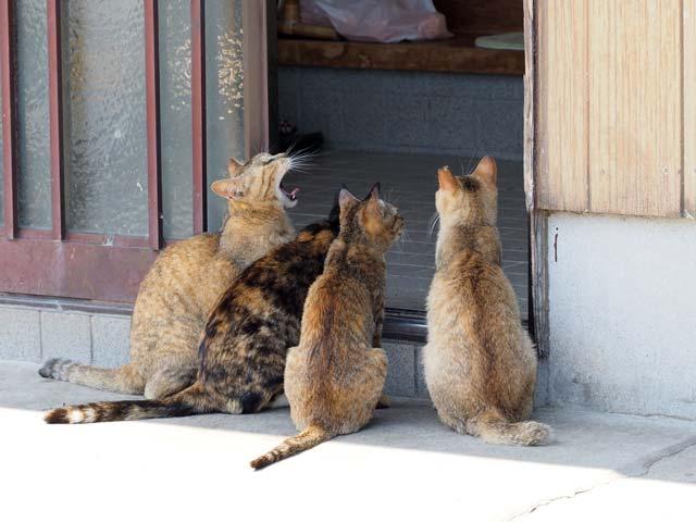 青島、餌をねだる猫たち