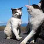 滋賀沖島近くの笑う猫の恋