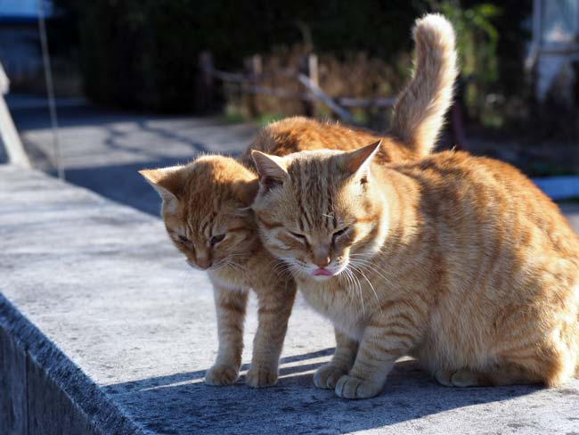 豊島のなかよし猫