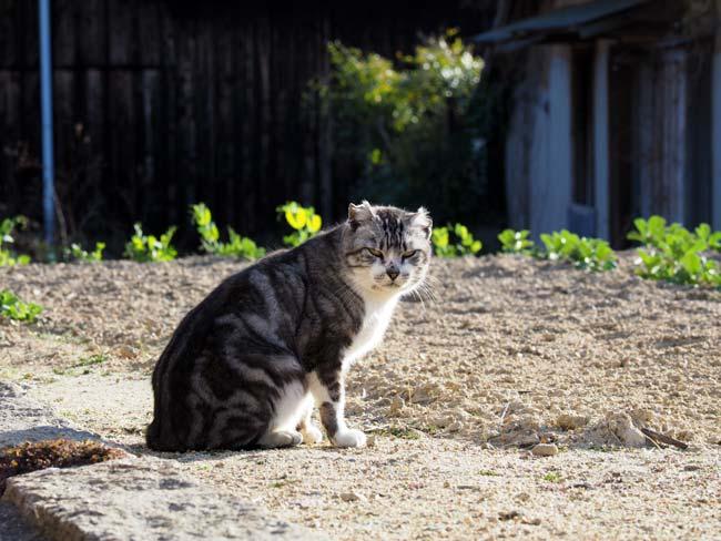 豊島、畑に猫