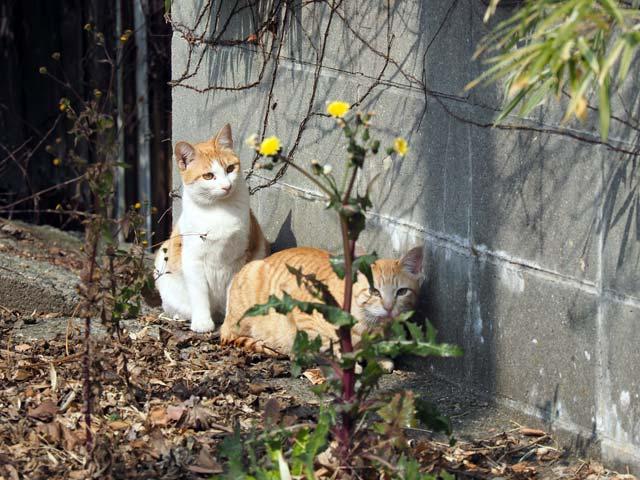 岩屋、たんぽぽと猫