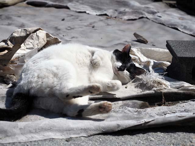 空き地で遊ぶ猫(真鍋)