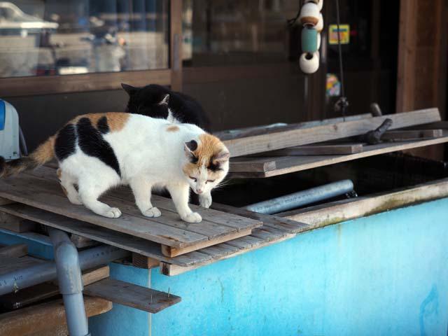 生け簀をのぞく猫(真鍋)