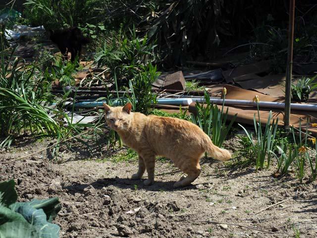 真鍋、畑の中の猫