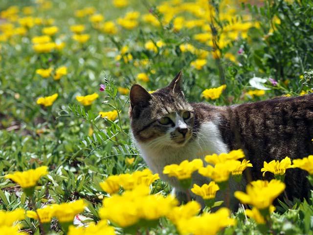 真鍋島、お花畑の猫
