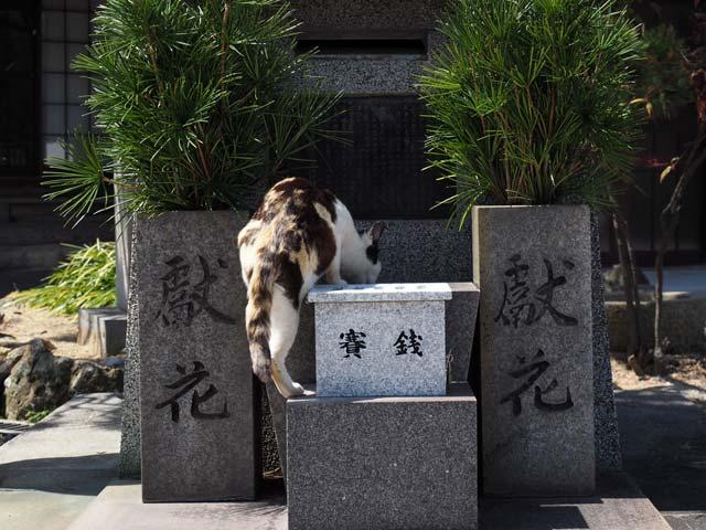真鍋、お寺の猫