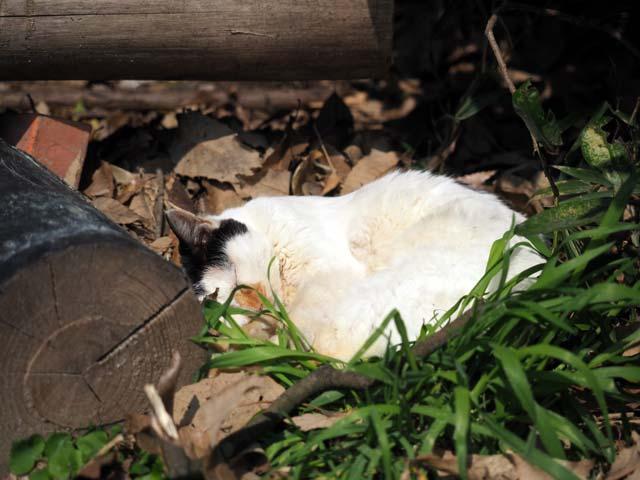 10京都寝る猫