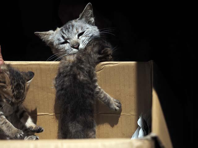 祝島、子猫をくわえる親猫