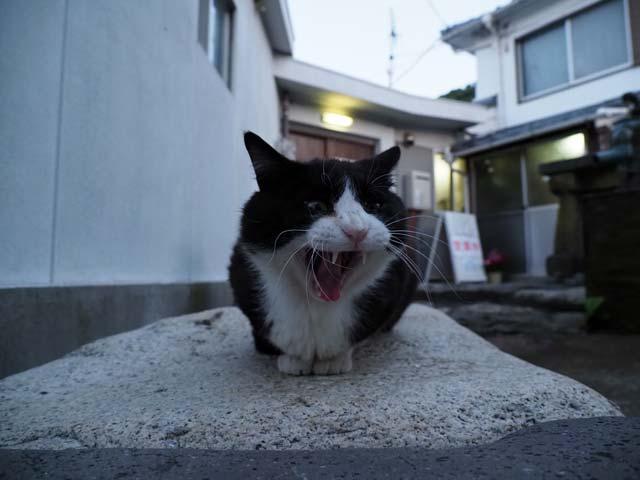 祝島、民宿前の猫