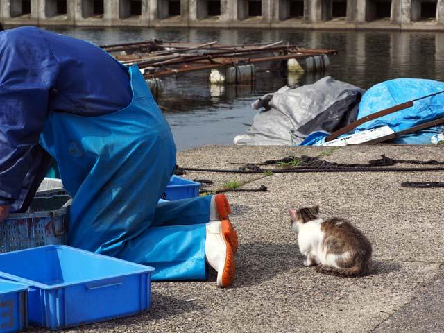 漁師さんの後ろで催促する猫