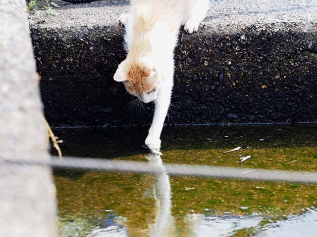 魚を採ろうとする猫