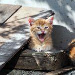口を大きく開ける子猫