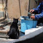 漁師さんのおこぼれを待つ猫