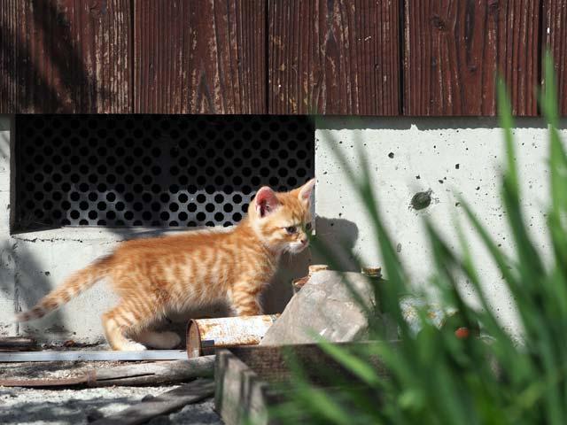 滋賀の子猫