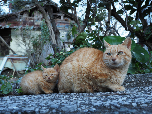 深島の親子猫