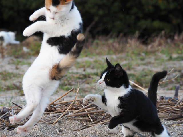本島の飛び猫