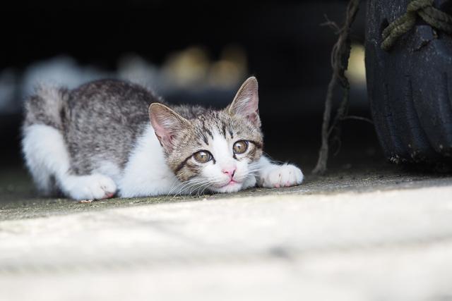 真鍋島の子猫
