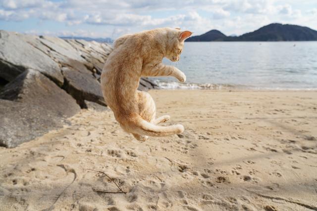 本島、ジャンプする猫