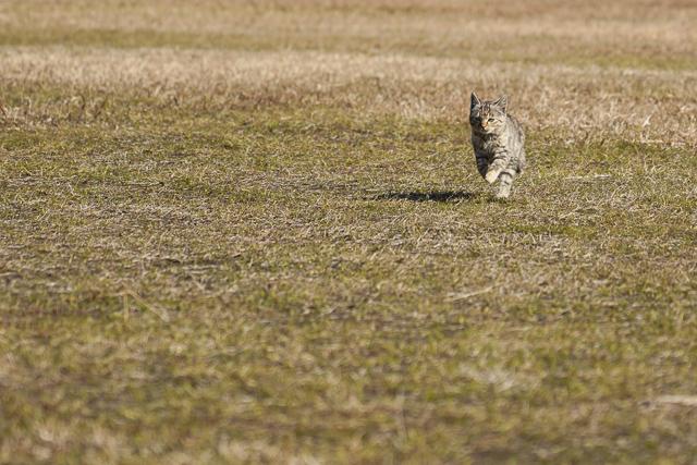 走ってくる猫の写真