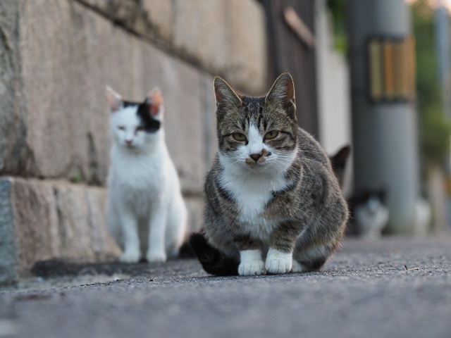 本島、民宿近くの猫たち