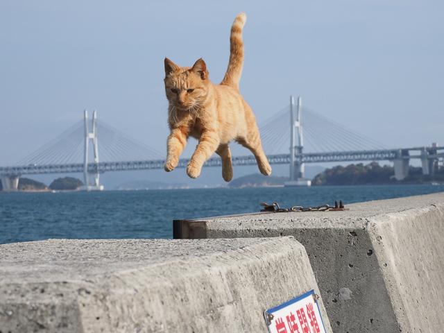 本島、飛び猫