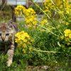滋賀・沖島で桜と猫写真