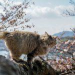 桜と猫の写真